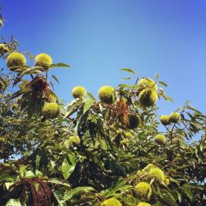 西明寺栗の木
