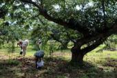 栗収穫作業